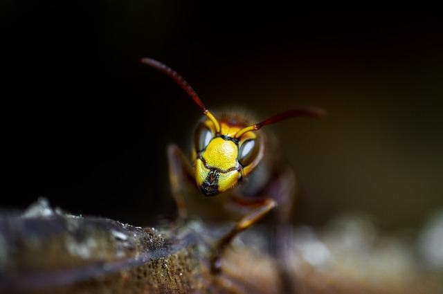 Schädlingsbekämpfung Wespe